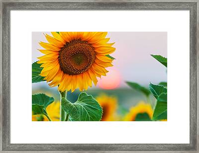 Sunflower Framed Print by Evgeni Dinev