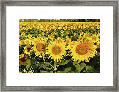 Framed Print featuring the photograph Sunflower Faces by Ann Bridges
