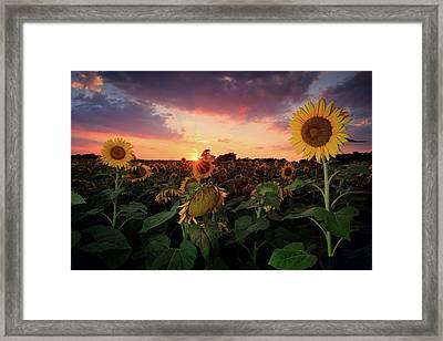Sunflower Field 2  Framed Print