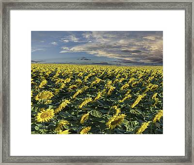Sunflower Field - 2 Framed Print by Lena  Owens OLena Art