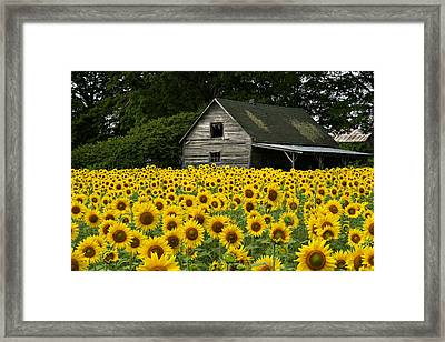Sunflower Field And Barn Framed Print by Tom  Wray