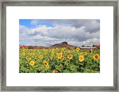Sunflower Field And Mount Sugarloaf Framed Print