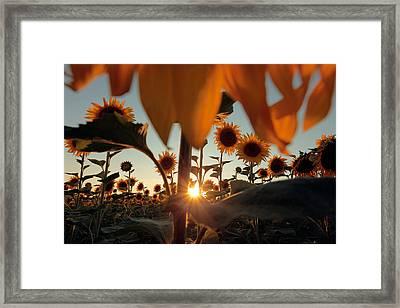Sunflower Field Framed Print by Floriana Barbu