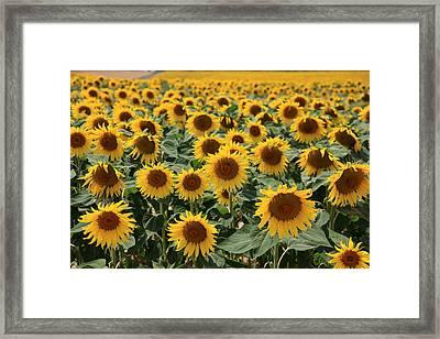 Sunflower Field France Framed Print by Pauline Cutler