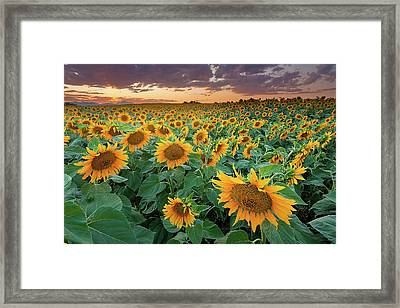 Sunflower Field In Longmont, Colorado Framed Print
