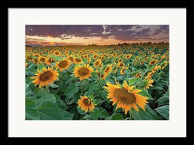 Sunflower Field Framed Prints