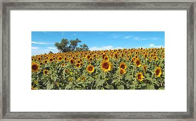 Sunflower Field One Framed Print by Barbara McDevitt