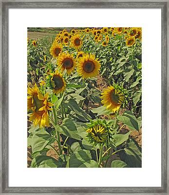 Sunflower Field Two Framed Print by Barbara McDevitt