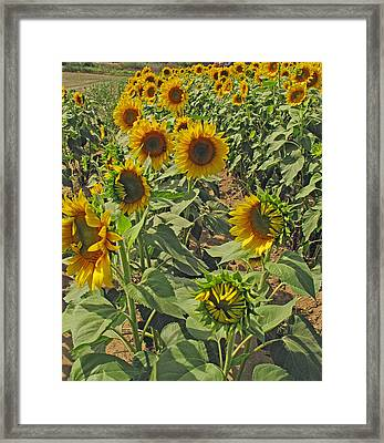 Sunflower Field Two Framed Print