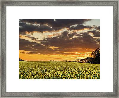 Sunflower Fields Sunset Framed Print