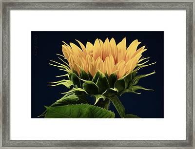 Sunflower Foliage And Petals Framed Print by Chris Berry