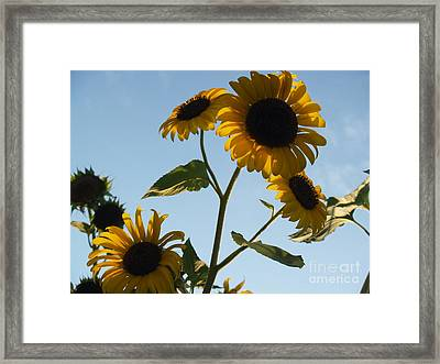 Sunflower Gang From Below Framed Print by Anna Lisa Yoder