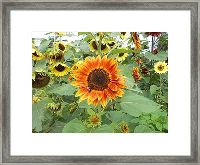 Sunflower Garden Framed Print