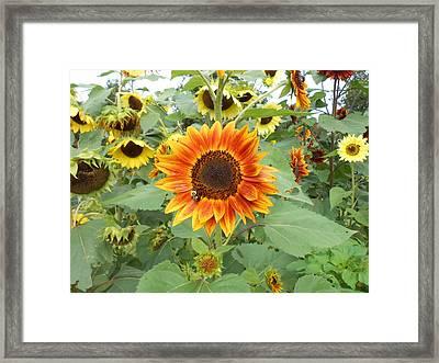 Sunflower Garden Framed Print by Diannah Lynch