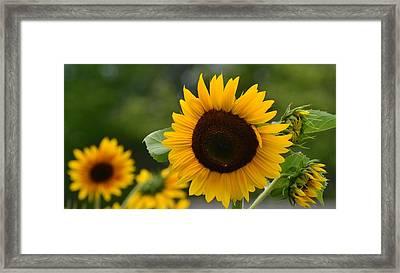Sunflower Group Framed Print