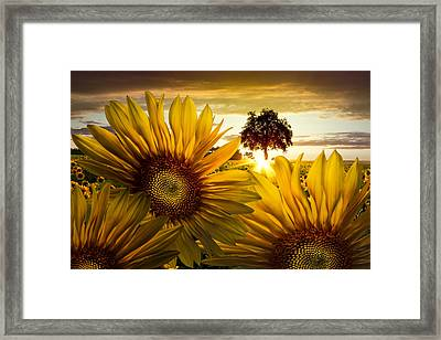 Sunflower Heaven Framed Print