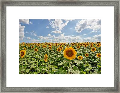 Sunflower Heaven Framed Print by Tod and Cynthia Grubbs