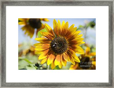 Sunflower Hybrid Framed Print by Peter French - Printscapes