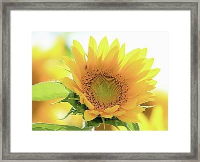 Sunflower In Golden Glow Framed Print