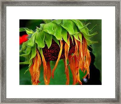 Framed Print featuring the photograph Sunflower In Repose by JoAnn Lense