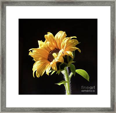 Sunflower Isloated On Black Framed Print