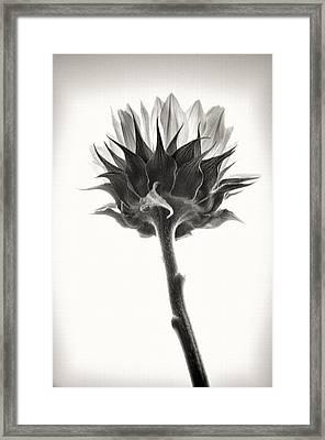 Framed Print featuring the photograph Sunflower by John Hansen