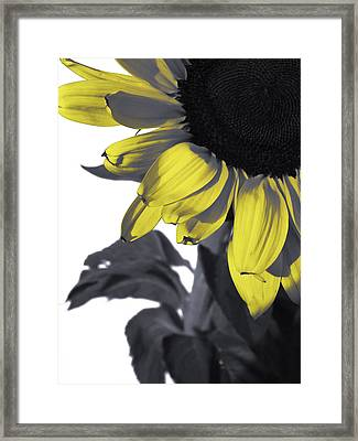 Sunflower Framed Print by Kelly Jade King
