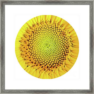 Sunflower Large Round Beach Towel Design Framed Print by Edward Fielding