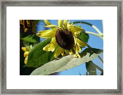 Sunflower, Lemon Queen, With Pollen Framed Print