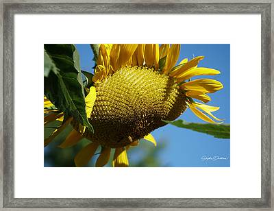 Sunflower, Mammoth With Bees Framed Print