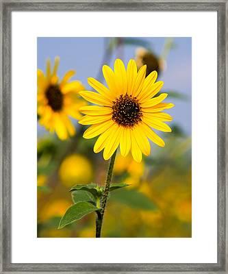 Sunflower Framed Print by Mark Weaver