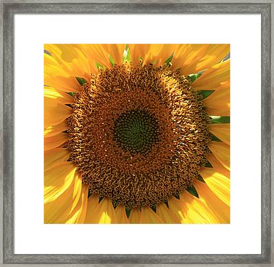 Sunflower  Framed Print by Marna Edwards Flavell
