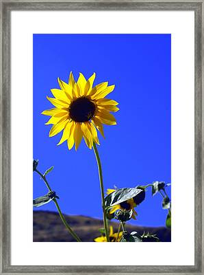 Sunflower Framed Print by Marty Koch