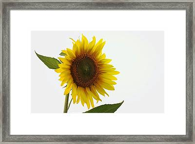 Sunflower Minimal Framed Print by Joseph Skompski