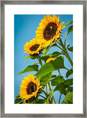 Sunflower Morning Framed Print by Debbie Karnes