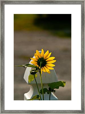 Sunflower Morning Framed Print by Douglas Barnett