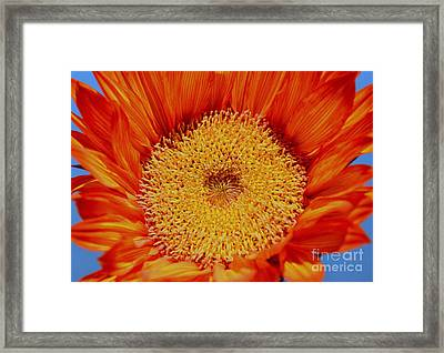 Sunflower On Fire Framed Print by Mary Deal