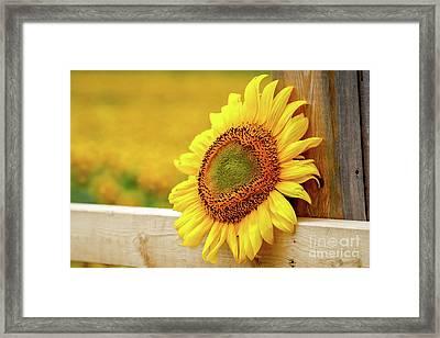 Sunflower On The Fence Framed Print