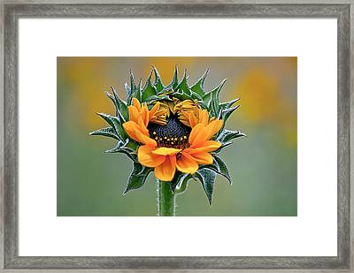 Sunflower Opens Framed Print by Emerald Studio Photography