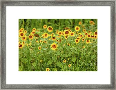Sunflower Patch Framed Print