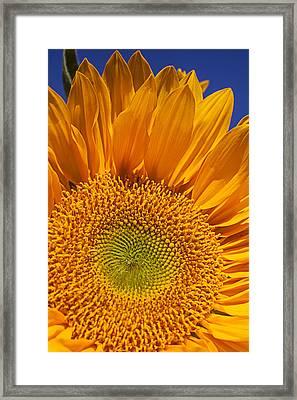 Sunflower Petals Framed Print by Garry Gay