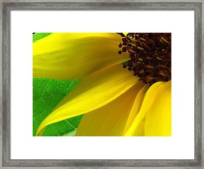 Sunflower Petals Framed Print by Juergen Roth