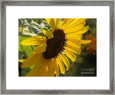 Sunflower Profile Framed Print by Anna Lisa Yoder