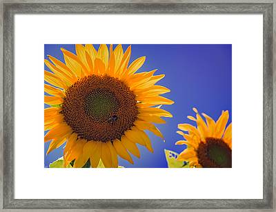 Sunflower Radiance Framed Print by Rick Berk