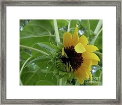 Sunflower Rising Framed Print