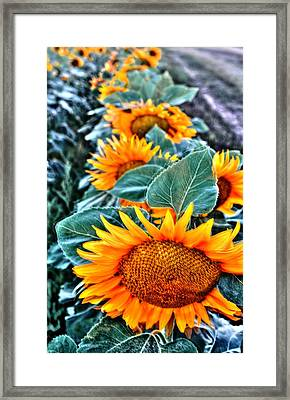 Sunflower Row Framed Print