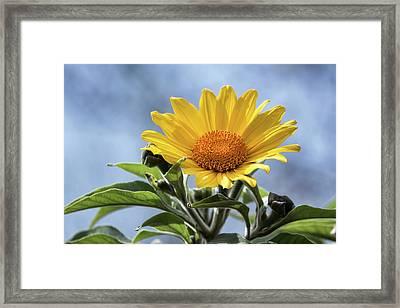 Framed Print featuring the photograph Sunflower  by Saija Lehtonen