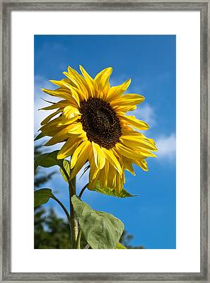 Sunflower Framed Print by Scott Carruthers