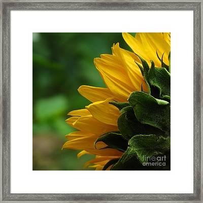 Sunflower Series I Framed Print