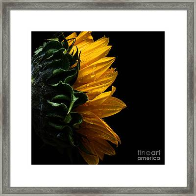 Sunflower Series IIi Framed Print